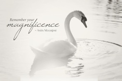 magnificence-swan